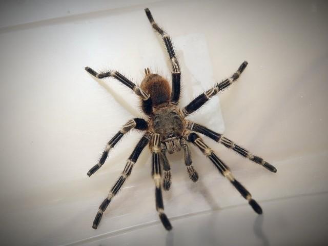 Na miejsce wezwano wolontariuszy z wrocławskiej Ekostraży, którzy mieli za zadanie schwytać pająka. Pająk na widok wolontariuszy Ekostraży stał się agresywny i nie chciał dać się złapać.