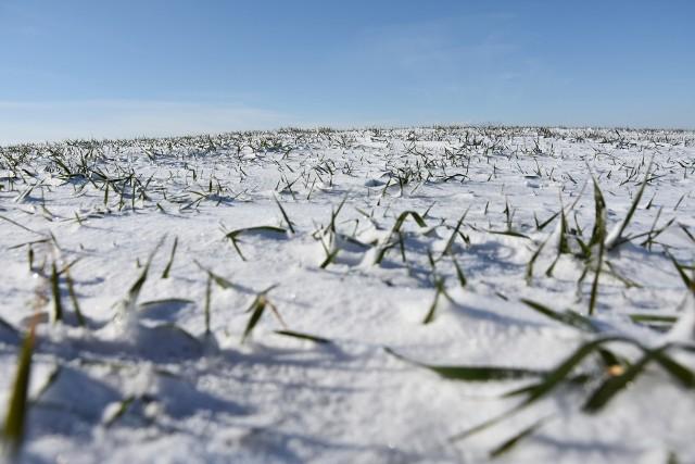Na razie uprawy są przykryte śniegiem, ale także zimą rolnicy kupują nawozy