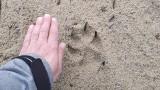 LUBUSKIE. Wilki się przemieszczają. Mogą również przechodzić tuż obok domów. To dzikie zwierzęta, dlatego należy zachować ostrożność