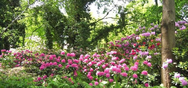 Rododendrony na ocienionej rabacieW półcieniu, gdzie mamy dużo koron drzew, pięknie będą kwitły rododendrony.