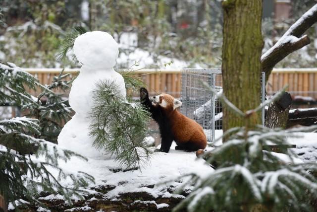 Jak na śnieg i mróz znoszą egzotyczne zwierzęta w Ogrodzie Zoobotanicznym?