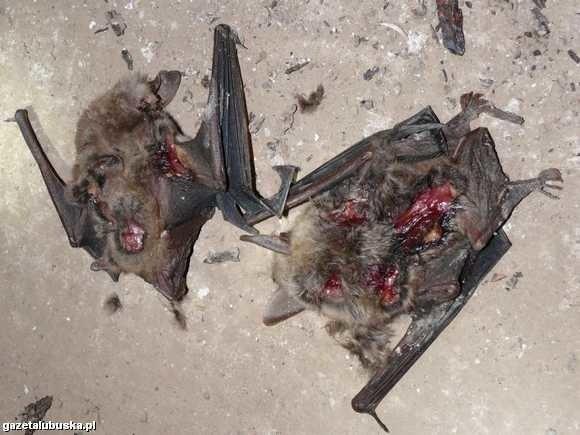 Nietoperze zabiły drapieżniki czy ludzie?