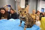 Koty rasowe w Sukcesji z okazji Światowego Dnia Kota. Zdjęcia z pokazu kocich piękności. Dzień Kota 2020