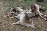 To była masakra. Wilki zaatakowały hodowlę danieli [UWAGA, DRASTYCZNE ZDJĘCIA]