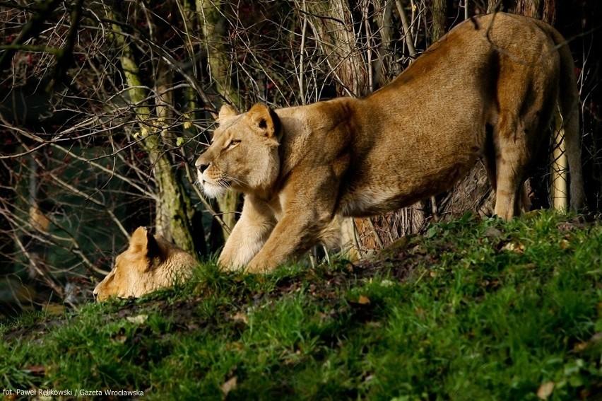We wrocławskim zoo, zwierzęta zamiast chować się w...