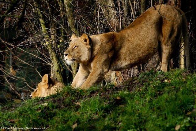 We wrocławskim zoo, zwierzęta zamiast chować się w pomieszczeniach przed mrozem, wygrzewają się w najlepsze w słońcu
