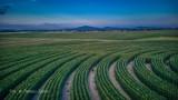 Gigantyczny labirynt w polu kukurydzy na Dolnym Śląsku. Ma trzy hektary