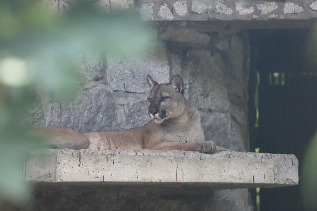 Puma Nubia jest na wybiegu tuż obok panter śnieżnych. Wiele osób przychodzi do zoo, by zobaczyć słynną pumę.