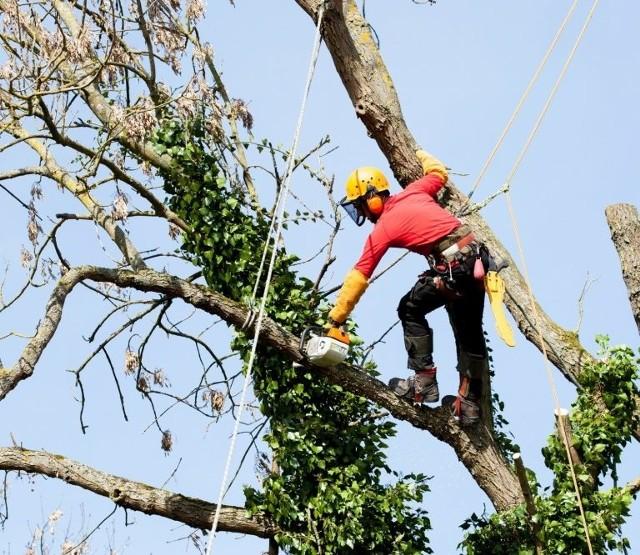 """7. Arborysta - drzewiarzArborysta pracuje na wysokościach. Bardziej kolokwialna nazwa tego zawodu to """"drzewiarz"""". Osoba wykonująca ten zawód zajmuje się wycinką drzew, także w trudno dostępnych lub zatłoczonych miejscach. W takich przypadkach drzewa nie można ściąć od razu przy ziemi, a należy to robić po kawałku – od samego czubka. Arboryści muszą mierzyć się z niebezpiecznymi wysokościami i innymi naturalnymi przeszkodami. Ich usługi wycenia się """"od drzewa"""". W zależności od stopnia trudności cena to od 150 zł do nawet kilku tysięcy za jedno drzewo. CZYTAJ DALEJ NA KOLEJNYCH SLAJDACH >>>ZOBACZ TAKŻE:Zarobki sprzedawców w górę. Lidl, Kaufland i Biedronka doceniają kasjerówZarobki w wojsku w 2021 roku. Ile zarabiają żołnierze w Polsce?"""