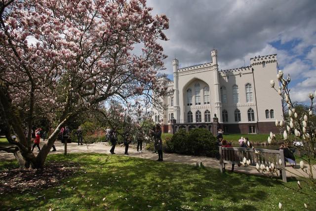 Arboretum w Kórniku słynie ze swoich 170-letnich, pięknych magnolii. Zwykle kwitną one jeszcze w kwietniu, jednak w tym roku ze względu na chłodną wiosnę kwiaty dopiero dochodzą do pełni kwitnienia. Część kwiatów wciąż jest w pąkach. To wyjątkowe miejsce można odwiedzać codziennie od godz. 10.00 do 19.00. Bilety wstępu ulgowe kosztują 7 zł, normalne 10 zł, a rodzinny 20 zł. Na terenie ogrodu nie trzeba nosić maseczek, o ile jesteśmy w stanie zachować dystans społeczny. Zobacz zdjęcia kwitnących magnolii w Arboretum przy zamku w Kórniku --->Poznań: Otwarcie sklepu Primark w Posnanii. Zobacz: