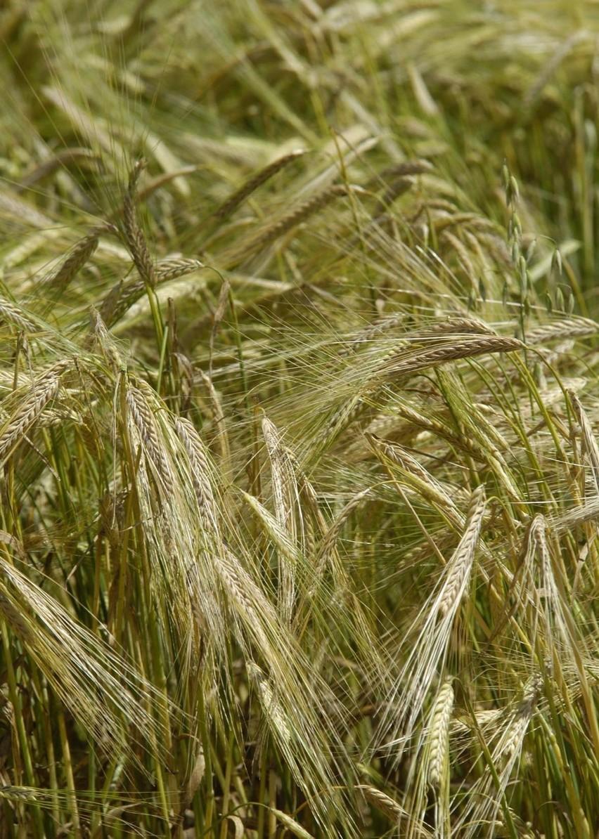 Cena tony żyta we wrześniu powinna wahać się w granicach 545...