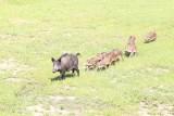 Toruń. Dziki znów pojawiły się na Rubinkowie. Trzeba było wstrzymać ruch na Szosie Lubickiej