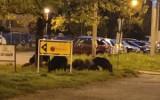 Dziki w środku osiedla w Dąbrowie Górniczej. Rodzinka dzików wybrała się na spacer po Mydlicach