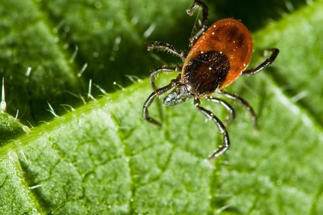 Województwo podlaskie jest terenem endemicznego występowania zakażonych kleszczy przenoszących m. in. wirusy kleszczowego zapalenia mózgu, czy też bakterie Borrelia burgdorferi. Patogeny te mogą być przenoszone zarówno przez dorosłe kleszcze, jak i larwy oraz nimfy. Nie każdy kleszcz jest zakażony, ale jednocześnie są też kleszcze przenoszące więcej niż jeden patogen - ostrzega podlaski sanepid.Jak wynika z danych Wojewódzkiej Stacji Sanitarno-Epidemiologicznej w Białymstoku w sierpniu odnotowano najwięcej przypadków zachorowań na choroby odkleszczowe w tym roku. Było ich w sumie 184, podczas gdy w lipcu - 154, czerwcu - 150, maju - 96, kwietniu - 82, marcu - 61, lutym - 87, a w styczniu br - 90.Gdzie było najwięcej zachorowań?
