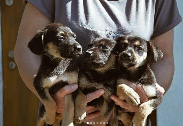 Prezentujemy kolejnych czworonożnych mieszkańców Schroniska dla Bezdomnych Zwierząt w Radomiu, które czekają na nowy dom. Chcesz zaopiekować się psem lub kotem ze schroniska? Można je poznać w schronisku w Radomiu. Informacje pod numerami telefonu 507237447, 533564074 i 733008486. Adopcje mimo pandemii wciąż są realizowane na określonych zasadach. Zobacz zdjęcia zwierzaków!
