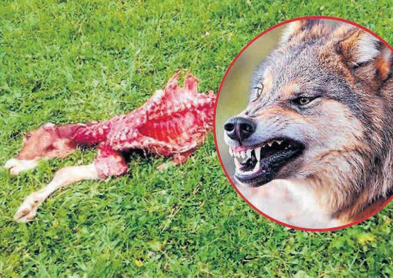 Fantastyczny Gorlice. Wilki podchodzą pod domy. Atakują i rozszarpują krowy NP57