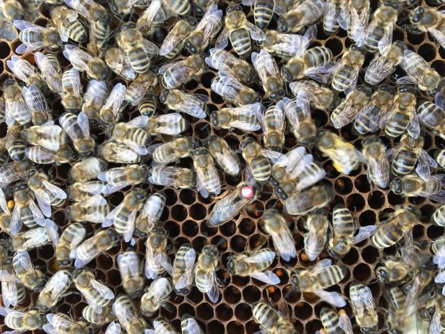 Pasieka Szczęśliwa powstała na terenie poznańskich fortów.  - Pszczoły czują się tam znakomicie, udowadniając nam to bardzo dobrą kondycją pszczelich rodzin i dobrymi zbiorami miodu oraz pyłku pszczelego - opowiada Bartosz Ciszewski.