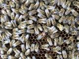Pszczoły przezimują najbliższe miesiące w fortach. W Poznaniu działa Pasieka Szczęśliwa