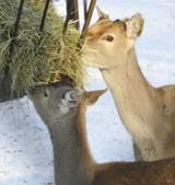 Dzikie zwierzęta będą dokarmiane zimą