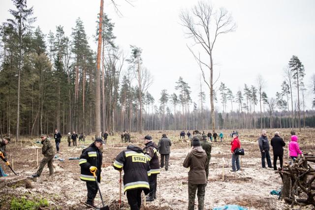 Resort ministra Szyszki uroczyście zmienia starodrzew Puszczy Białowieskiej w plantację - twierdzą ekolodzy
