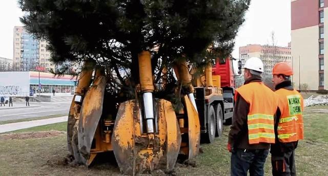 Duże drzewa można przesadzać specjalnym sprzętem. Potem przez 3 lata trzeba je uważnie pielęgnować