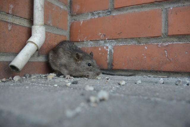 Na każdego mieszkańca Wrocławia przypadają trzy szczury - wyliczają wrocławscy szczurołapowie. W sumie w stolicy Dolnego Śląska tych gryzoni są aż 2 miliony. W listopadzie, gdy odbędzie się jesienna deratyzacja, ta liczba ma się zmniejszyć nawet o połowę, ale w to, że znikną całkowicie, nie ma co wierzyć. Jedna szczurza para w ciągu roku potrafi wydać nawet tysiąc sztuk potomstwa. Spotkać je możemy zwłaszcza w centrum, gdzie wśród wód fosy, Odry i jej dopływów mają idealne warunki to życia. Na blokowiska zapraszamy je sami, wyrzucając żywności i kuchenne odpadki do śmietników i zsypów lub dokarmiając koty.Oto 10 miejsc we Wrocławiu, gdzie według pracowników wrocławskich firm deratyzacyjnych mieszka najwięcej szczurów. Zobaczcie kolejne miejsca, posługując się klawiszami strzałek na klawiaturze, myszką lub gestami.W NIEDZIELĘ O 21.00 WIECZÓR WYBORCZY GAZETAWROCLAWSKA.PL - NIE PRZEGAP