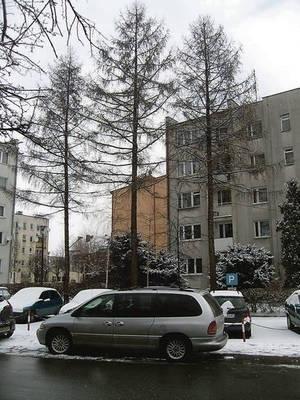 Te trzy dorodne drzewa stojące przy ulicy Niepodległości udało się mieszkańcom bloku, przy którym rosną, ustrzec od zagłady. Fot. Maciej Hołuj