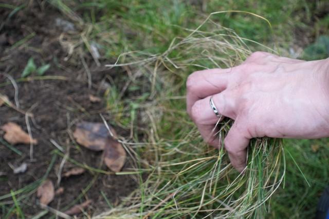 Trawnik na wiosnęGdy trawnik po zimie rozmarznie, często zauważamy na nim obumarłe kępy trawy, podgniwające korzenie, a czasami nawet warstwy białej pleśni śniegowej.