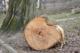 Zielona Góra. Mieszkańcy martwią się wycinką w Parku Piastowskim. ZGK: To jedynie prace porządkowe!