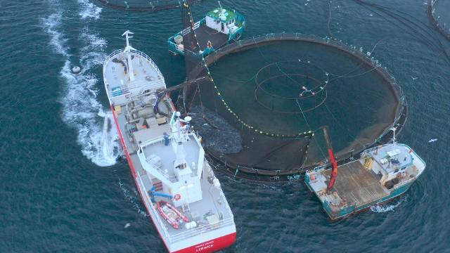 - Ryby są zjadane żywcem przez wszy morskie i szacujemy, że co czwarty łosoś nie dożywa momentu uboju- komentuje prezes Compassion Polska.