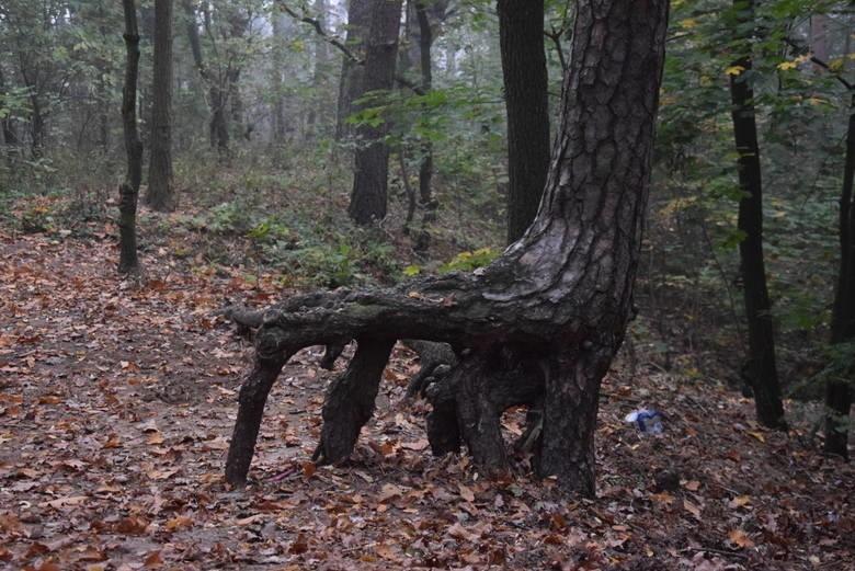 Miasto przejęło las i w 2014 roku utworzyło w nim Park...