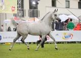 Arabska księżniczka nie chce zapłacić 1,25 mln euro za konia wylicytowanego na Pride of Poland w Janowie Podlaskim. Co dalej z Perfinką?