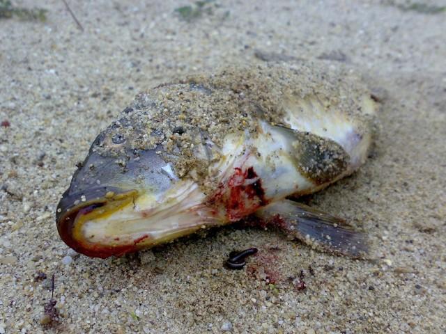 Nad jeziorem w Serocku leżą zdechłe ryby.