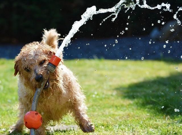 """NIE """"PODLEWAĆ"""" ZWIERZĄT, ALE TYLKO JE… DELIKATNIE SPRYSKIWAĆ!Uwaga, nie schładzajmy zwierzęcia wodą, bo zrobimy mu tylko w ten sposób krzywdę.Gdy jest bardzo gorąco, ostatecznie można go lekko spryskać wodą i nakryć czworonoga"""