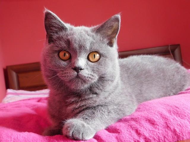 Na małej przestrzeni świetnie odnajdzie się m.in. Kot brytyjski