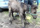 Mężczyzna znęcał się nad zwierzętami. W Świętochłowicach w tragicznych warunkach trzymał kuce, konie, psy i świnię wietnamską