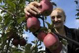 W tym roku zarobki przy zbiorach owoców są mniejsze. Jednak sezonowych pracowników nie brakuje