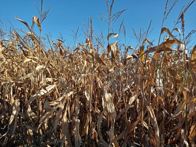 Najwięksi importerzy kukurydzy: Chiny, Meksyk, Wietnam, Korea Południowa, Unia Europejska. Kukurydza jest określana jako najważniejsze na świecie zboża z przeznaczeniem na pasze