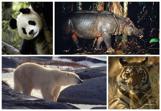 Organizacja proekologiczna WWF bije na alarm. Ludzkość ma ostatnią szansę na uratowanie wielu gatunków zwierząt. Prezentowane w tej galerii gatunki stoją na skraju wyginięcie. Jeśli ludzie nie zmienią swoich nawyków i nie przestaną degradować środowiska naturalnego, to już niedługo tych zwierząt po prostu nie zobaczymy.Na kolejnych zdjęciach tej galerii znajdziesz poszczególne gatunki, które zagrożone są wyginięciem.Zobacz też wideo: Zielona Góra potrzebuje nowego schroniska