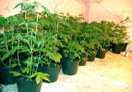 Wartość zabezpieczonych roślin biegły określił na ponad 70 tysięcy złotych.