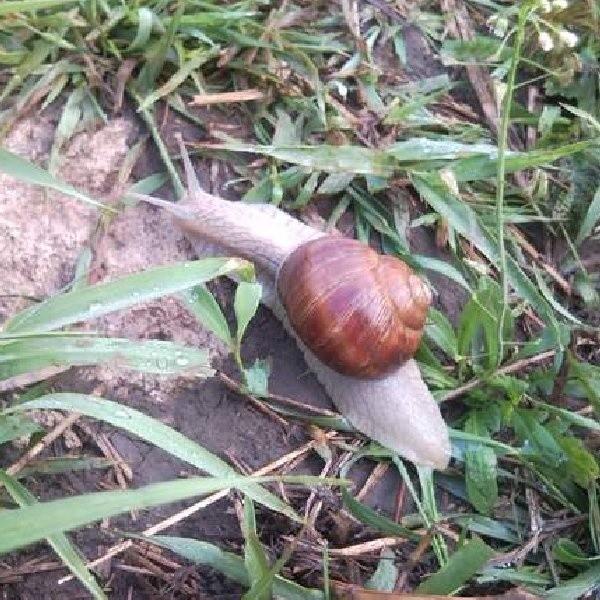 Ślimaki chętnie mieszkają w naszych ogrodach i niszczą młode pędy roślin.