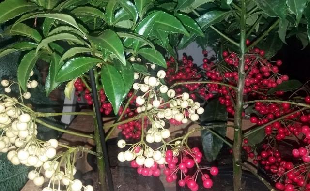 Ardizja jest bardzo dekoracyjną rośliną doniczkową, jednak jest dość wymagająca.