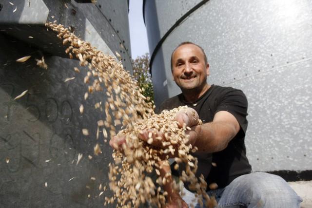 W jeden dzień pszenica podrożała o 2,5 proc.