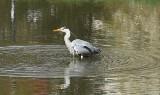 Czapla w centrum Gorzowa! Od kilku dni ten ptak żyje w Parku Róż