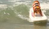Surfingowe psie zawody w Kalifornii [wideo]