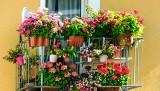 Uprawa i pielęgnacja roślin ozdobnych. Jakie kwiaty na balkon wybrać? Kwiaty w pojemnikach, doniczkach i skrzynkach 9.05.2021
