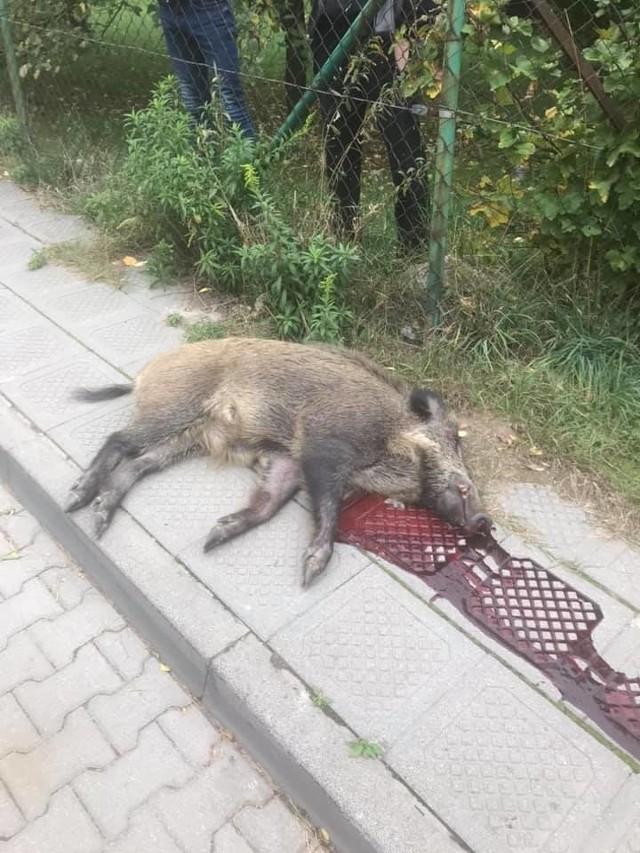 Myśliwy, we wrześniu 2018 roku na ul. Gołębiej w Puszczykowie, zastrzelił dzika. Prokuratura postawiła mu zarzuty