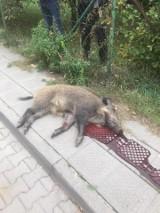 Dzik zabity na ulicy Puszczykowa. Myśliwy usłyszał zarzuty