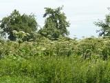 Barszcz Sosnowskiego. Objawy, występowanie, pochodzenie. Kiedy wydziela niebezpieczne toksyny? Jak zwalczać groźną roślinę? Mapa online