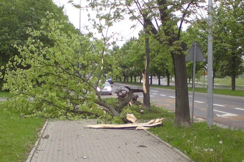 Zwalone drzewo przy Branickiego tarasuje przejście